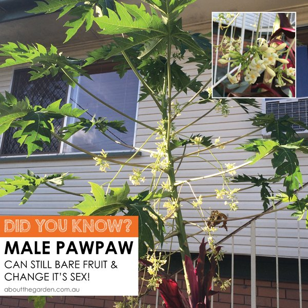 Did YOU KNOW male pawpaw can still bare fruit and change it's sex about the garden magazine
