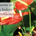 Four solutions to- common indoor plant problems #Red #flower #table #talkers #plants  #garden #aboutthegarden copy
