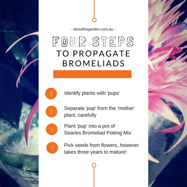 Four steps to propagating bromeliads