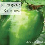 How to Grow- Capsicum #green #capsicum #vegetable #garden #aboutthegarden