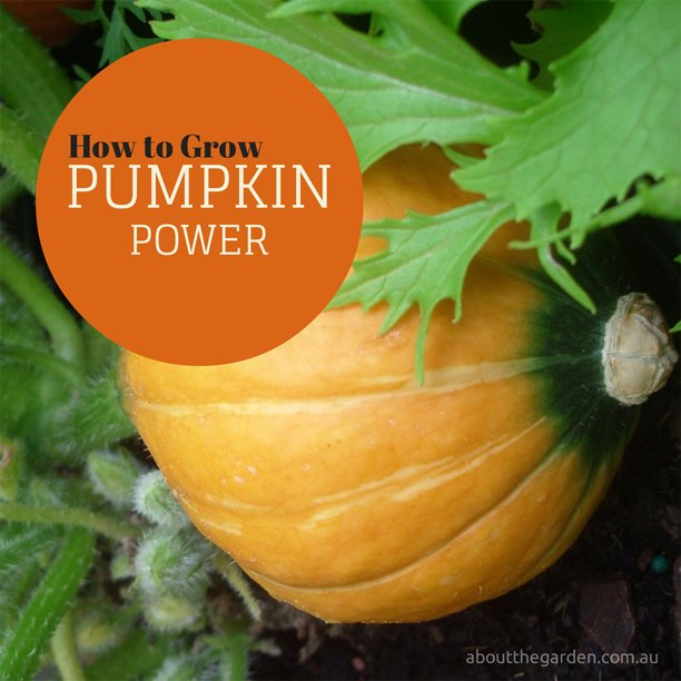 How to Grow Pumpkin Power #australia #gardening #garden #vegetable #aboutthegarden