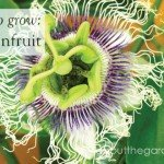 How to gros Passionfruit #fruit #flower #garden #aboutthegarden