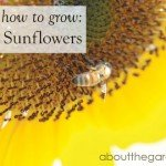 How to grow- Cheerful Sunflower #plant #garden #aboutthegarden
