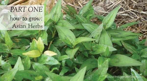 Coriander lemon grass dill vietnamese mint about for How to grow an herb garden