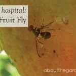 Plant Hospital- Fruit Fly #pest #citrus #garden #aboutthegarden