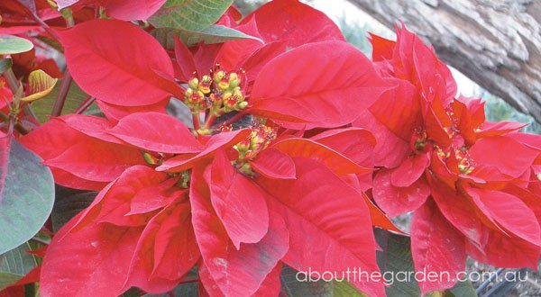 410695a8b How to Grow Poinsettia with Pictures wikiHow - Poinsettias Wallpaper