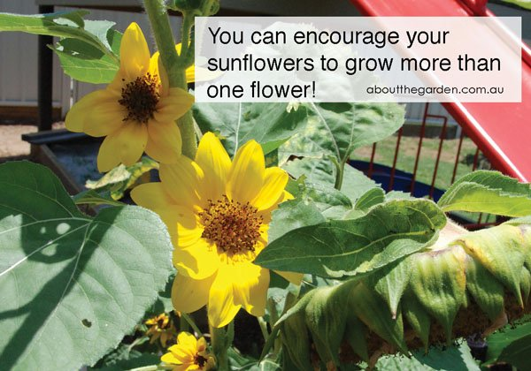 More than one flower on Sunflower