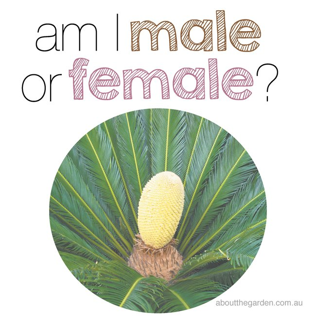 am i a male or female cycad