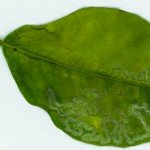 citrus leaf miner #pests #garden #aboutthegarden