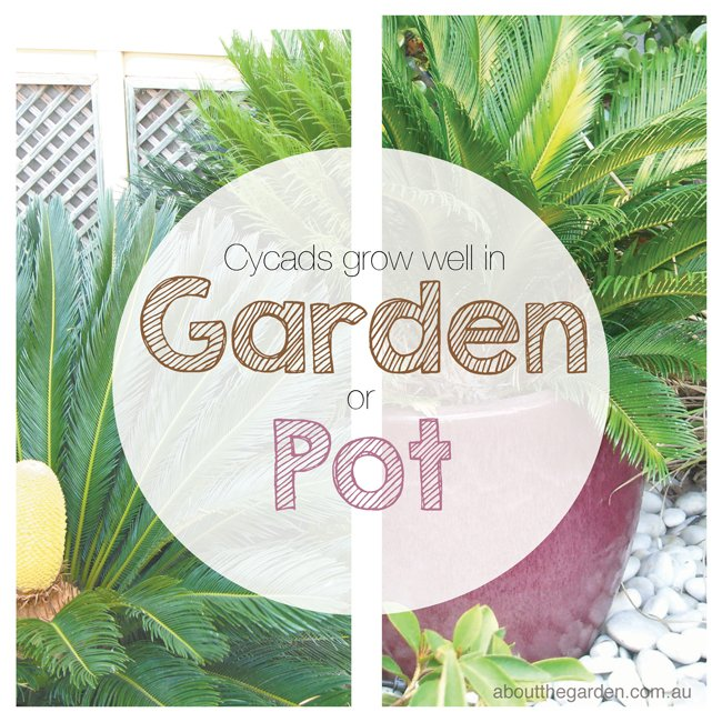 cycads can grow in pots or in the garden