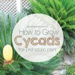 how to grow cycads the prehistoric plant