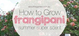 how to grow frangipani summers super scent