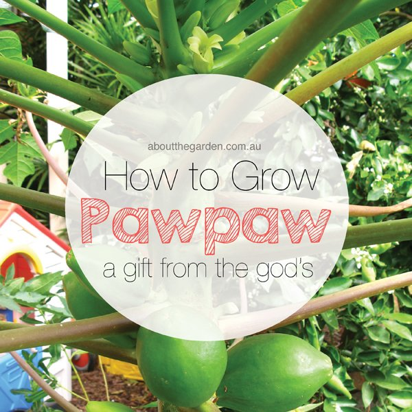 how to grow pawpaw a gift from the gods about the garden magazine