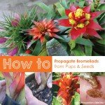 how to propagate bromeliads from pups and seeds aboutthegarden