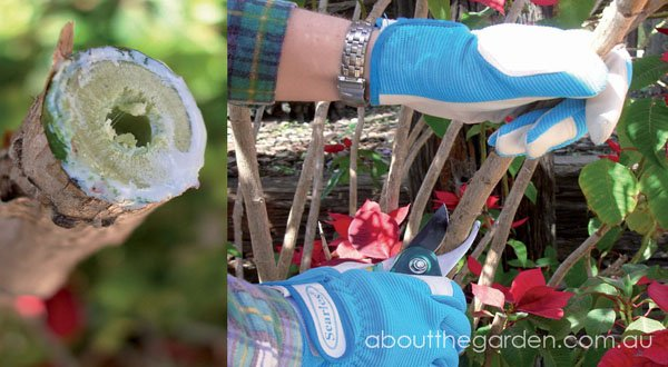 pruning-poinsettia-cutting-with-milky-sap-poinsettia