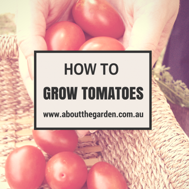how to grow tomatoes in australia