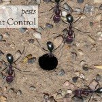Ants can be a manic in the garden