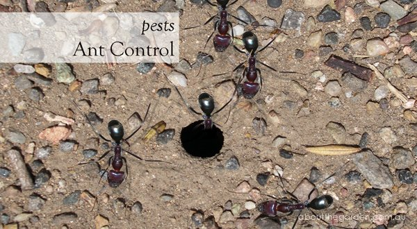 Ant Control In The Garden