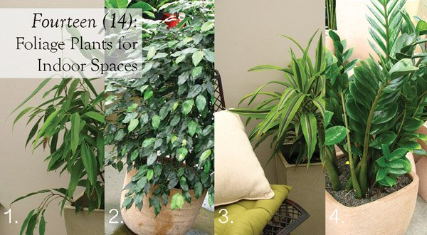 Indoor Foliage Plants | Hardy Houseplants | Care | Position | About ...