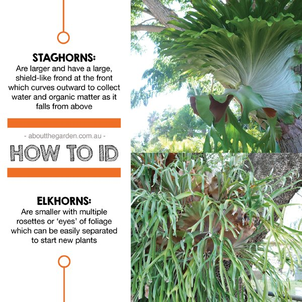Tips on how to ID Staghorns and elkhorns Australia shade plants
