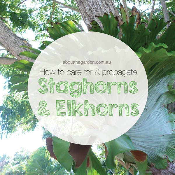 how to care for and propogate staghorns and elkhorns aboutthegarden