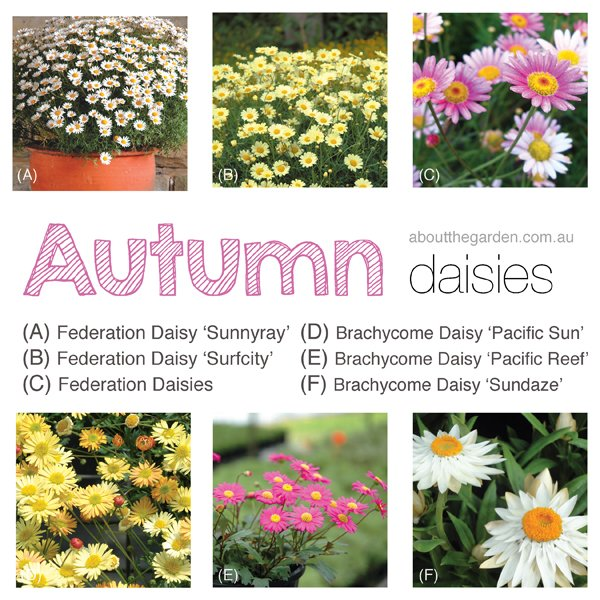 Collection of Autumn Federation and Brachycome Daisies
