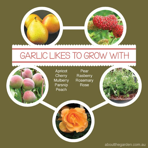 Companion Vegetable Garden Planting with Garlic Australia