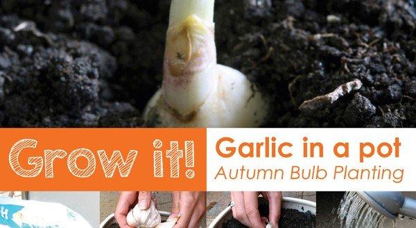 how to grow garlic in pots in australia