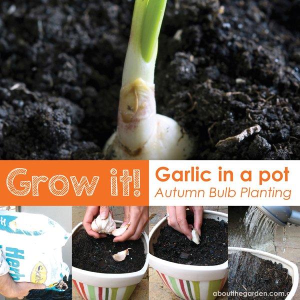autumn vegetable  Grow it garlic in a pot  blub planting australia garden DIY aboutthegarden.com.a
