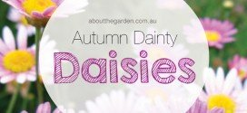 autumn dainty daisies for mothers day
