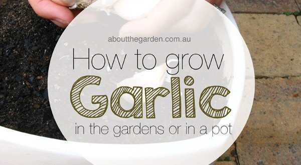 How To Grow Garlic About The Garden Magazine About The Garden Magazine