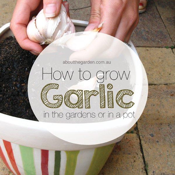 how to grow garlic autumn vegetable in garden or pot aboutthegarden.com.au