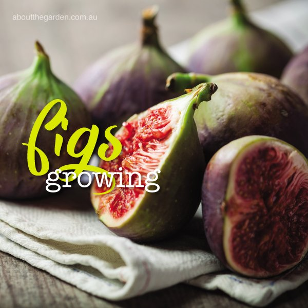 How to grow figs in Australia plant and care for figs #abouttheg
