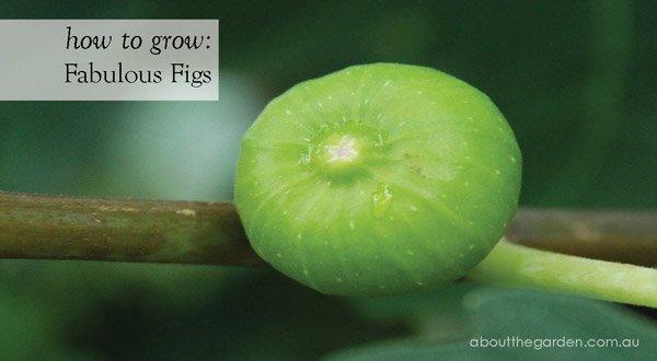 Grow Fig