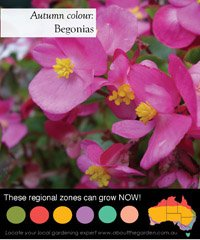 Indoor flowering plant the begonia