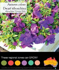 NEW RELEASE Dwarf Tibouchina