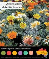 Daisy like Gazania