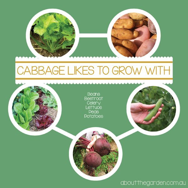 Companion Planting with Cabbage Australia vegetable garden aboutthegardenmagazine