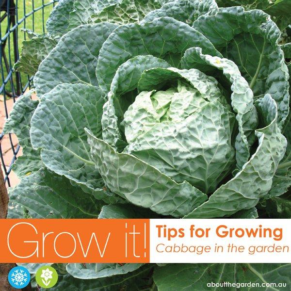 Growing cabbage in Australia vegetable garden #aboutthegarden