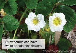 How to grow strawberry (white flowers) #flower #garden #aboutthegarden