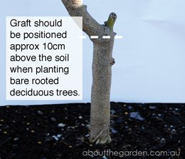 the graft should sit 10cm above the ground with bare rooted stock when planting