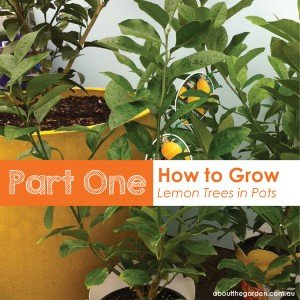 part one how to grow lemon trees in pots
