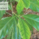 Iron deficiency in plants #plant #disorder #health #gardenadvice #aboutthegarden