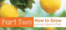 part two how to grow lemon trees in pots Australia