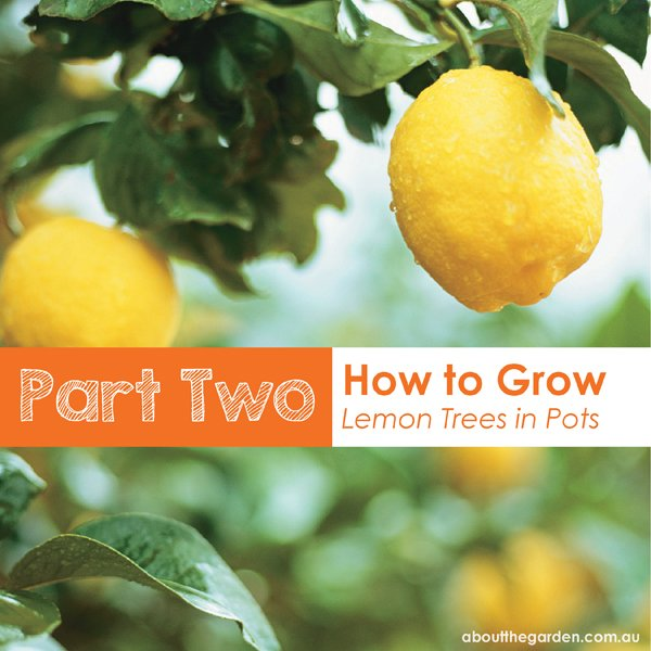 Growing Australian Native Plants: Part 2: How To Grow Potted Lemon Trees