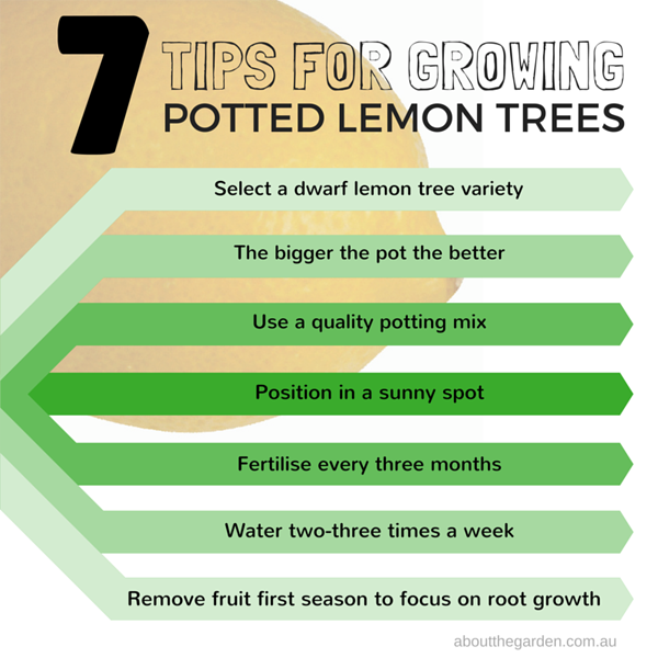 seven tips for growing potted lemon trees in australia
