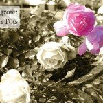 How to Grow Roses in Pots