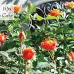 How to Grow Roses in Pots www.aboutthegarden.com.au