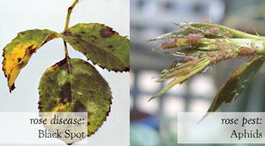 Rose Pest & Diseases (aphids & black spot)