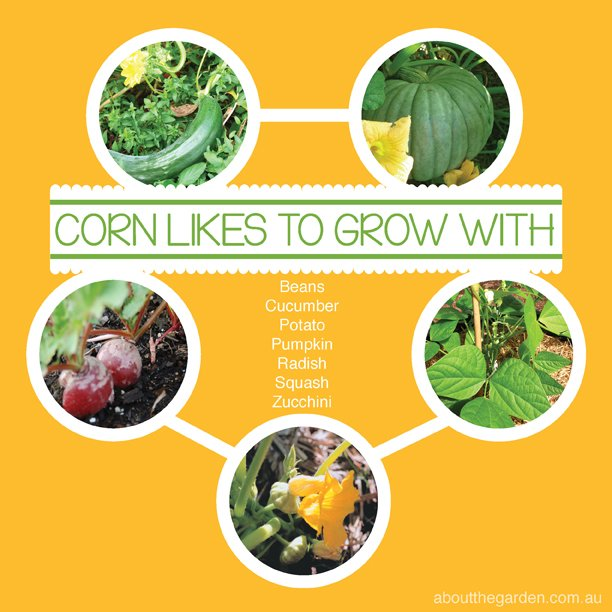 Companion Vegetable Garden Planting with Sweet Corn Australia